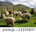 アルパカの群れ 22335837