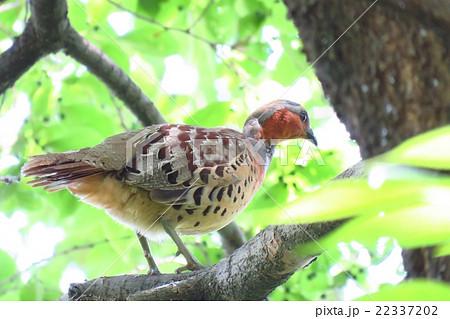 木の上の「コジュケイ」オス:野鳥:通称:野鳥通り:淀川河川敷 22337202