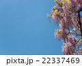 藤 花 植物の写真 22337469
