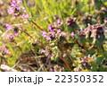 ホトケノザ 野草 草花の写真 22350352