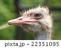 ダチョウ 鳥 鳥類の写真 22351095