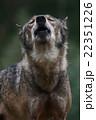 遠吠えするオオカミ 22351226