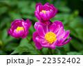 ピンク 芍薬 花の写真 22352402