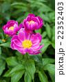 ピンク 芍薬 花の写真 22352403