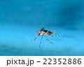 水に浮く羽化したばかりの蚊 22352886