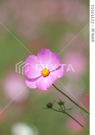 コスモスの花 22353551