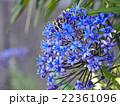 オオツルボ シラー 花の写真 22361096