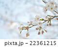 桜 22361215