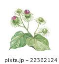 ごぼう(牛蒡)の花  22362124