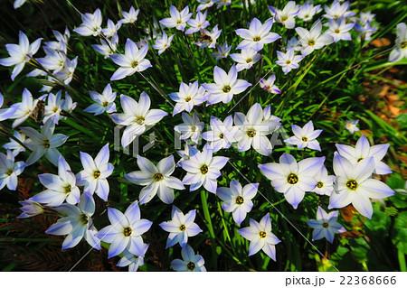 ハナニラ(セイヨウアマナ)の花 22368666