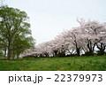 展勝地の桜 22379973
