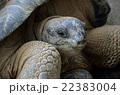 亀 アルダブラゾウガメ 22383004