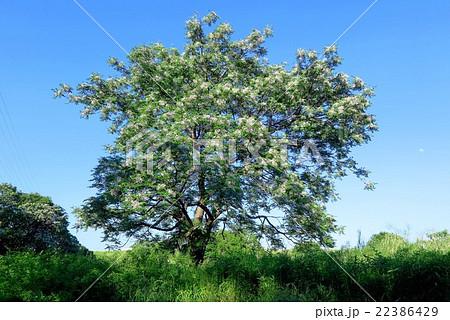 木の花「センダンの木」淀川河川敷:大阪府枚方市 22386429