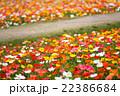 アイスランドポピー ポピー 花の写真 22386684