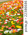 アイスランドポピー花畑 22386686