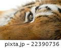 トラの瞳 22390736