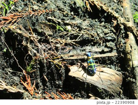杉林で見つけたカラフルで小さい虫 22390908