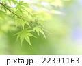 新緑のカエデ 22391163