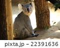 コアラ 22391636