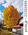 銀杏の巨木 22392899