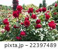 バラ園 伊豆河津町バガテル公園 バラの写真 22397489