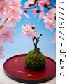 桜 花 盆栽の写真 22397773