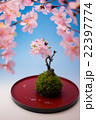 桜 花 盆栽の写真 22397774
