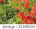 アゲハ蝶と彼岸花 22398204