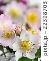 バラ 花 イヌバラの写真 22398703
