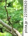 アカハラ 小鳥 枝の写真 22399820