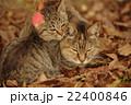 猫 子猫 仔猫の写真 22400846