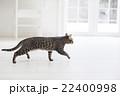 歩く猫 22400998