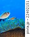 クマノミ ハナビラクマノミ 魚の写真 22402151