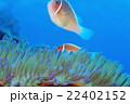 クマノミ ハナビラクマノミ 魚の写真 22402152