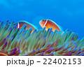クマノミ ハナビラクマノミ 魚の写真 22402153