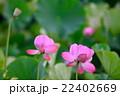 蓮 大賀蓮 花の写真 22402669