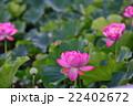 蓮 大賀蓮 花の写真 22402672