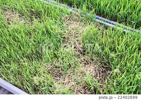 ネズミに食い荒らされた稲の苗 22402699