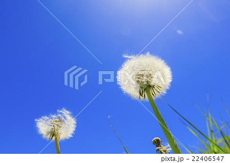 風に飛ぶタンポポの綿毛 22406547