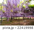 和気神社の藤棚 22419998