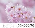 ピンクの八重桜 22422279