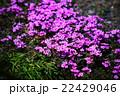 シバザクラの花 22429046
