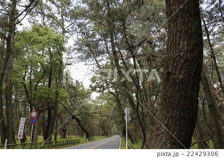 クロマツのトンネル~佐賀県 唐津市 虹の松原~ 22429306