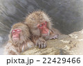 湯けむりのおさるさん Japanese monkey in the hot spring 22429466