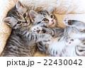 仔猫 仲良し スコティッシュフォールドの写真 22430042