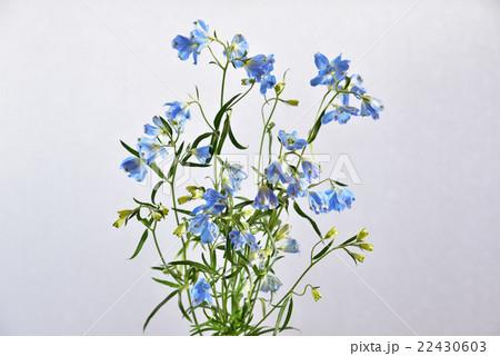 デルフィニウムの切り花の写真素材 [22430603] - PIXTA