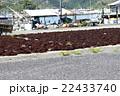 ふのり 海苔 海草の写真 22433740