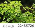 アジアンタム ホウライシダ科 ホウライシダ属の写真 22435720