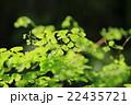 アジアンタム ホウライシダ科 ホウライシダ属の写真 22435721