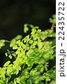 アジアンタム ホウライシダ科 ホウライシダ属の写真 22435722